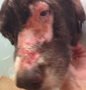 犬 放射線治療後皮膚炎ウィートグラス療法開始前